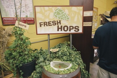So that's what hops look like! (photo credit tcdailyplanet.net)